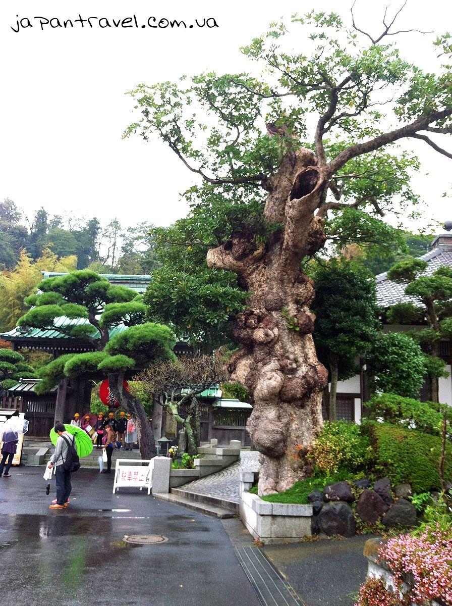 старе дерево в Хасе-дера, Камакура