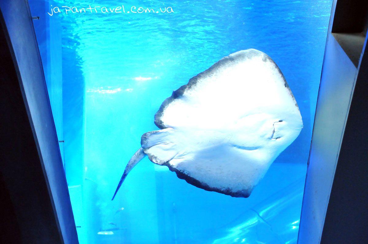 йокогама-океанаріум-скат-усміхнений-акваруіум-мандрівки-японією