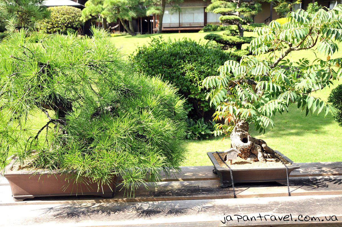 бонсай-мандрівки-японією-виставка-хвойні-і-листяні