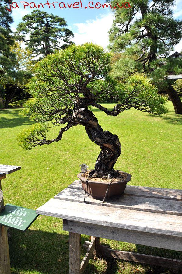 бонсай-мандрівки-японією-деревце
