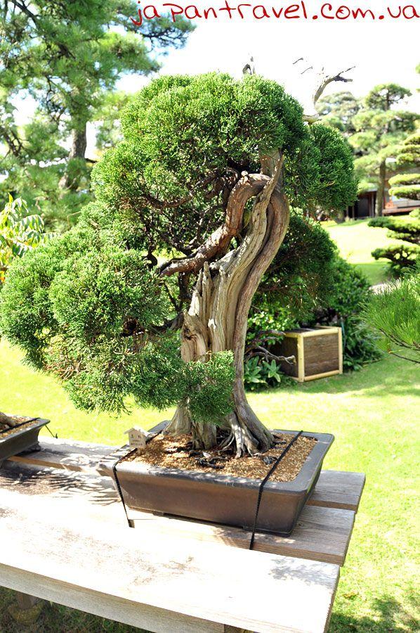 бонсай-мандрівки-японією-мистецтво