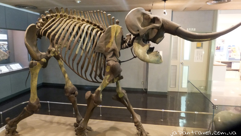 slon-naumana-skelet-muzej-jokosuka-mandrivky-yaponijeyu
