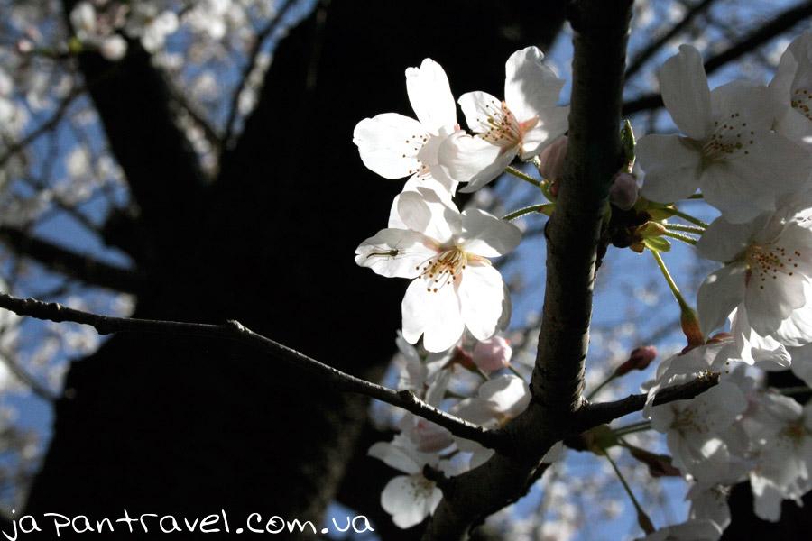 kvitka-sakura-vesna-mandrivky-yaponijeyu